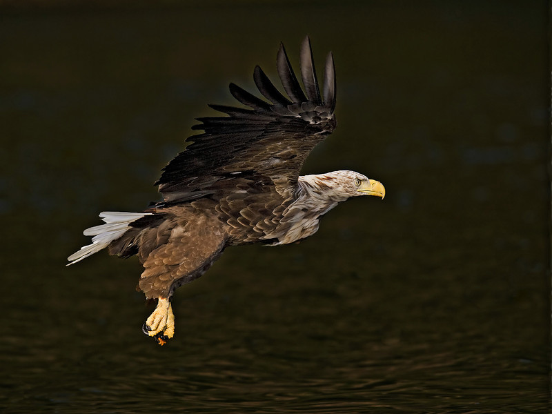 White Tail Sea Eagle. John Chapman.