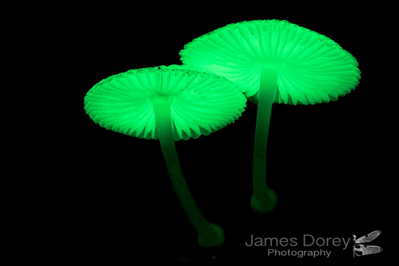 Glowing fungi (Mycena lampadis)