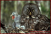 Great Grey Owl with chicks.