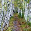 White Birch Forest. Acadia N.P.