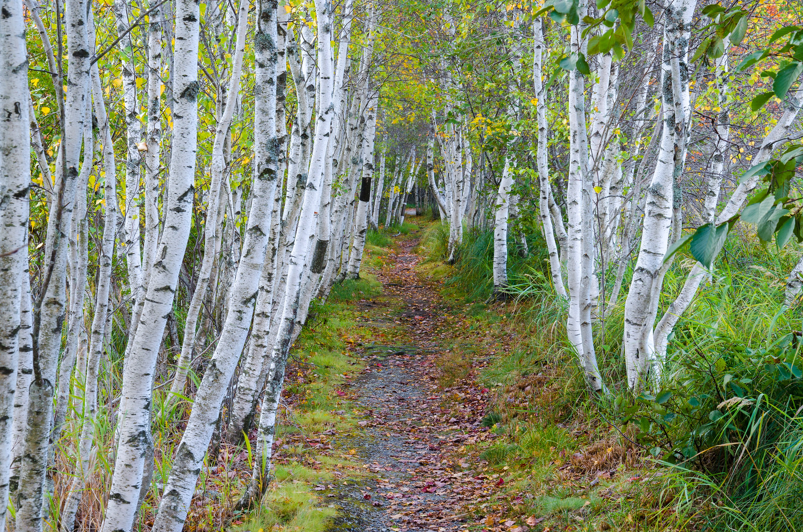 White Birch Forest. Acadia N.P.