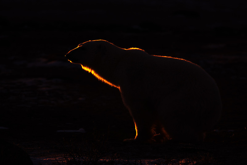Polar bear with Rim Lighting.