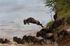 Wildebeests migrating.