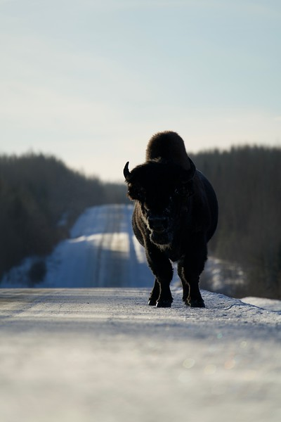 The Wood Bison