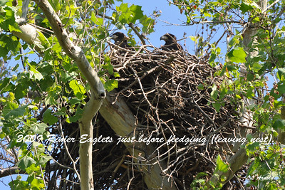 Eaglets fledge at around 12wk's old, as these were.
