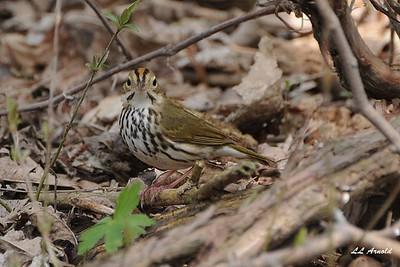 Ovenbird - Magee Marsh 4-25-09