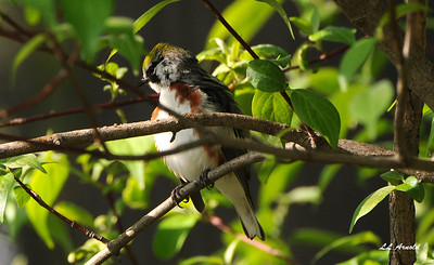 Chestnut-sided Warbler - Magee Marsh 5-10-09