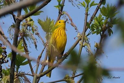 Yellow Warbler - Magee Marsh 4-25-09