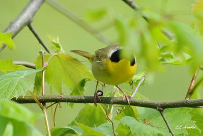 Common Yellowthroat - Russ'es 5-14-09