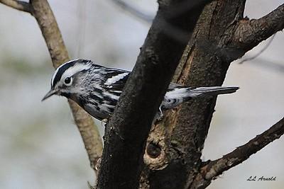 Black & White Warbler - Magee Marsh 4-25-09