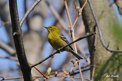 Pine Warbler - Magee Marsh 4-25-09