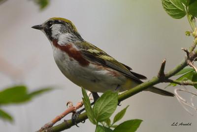 Chestnut-sided Warbler - Magee Marsh 4-26-09