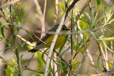 Kirtlands Warbler - Magee Marsh 5-10-09