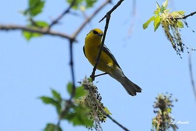 Blue-winged Warbler-Magee Marsh 4-25-09
