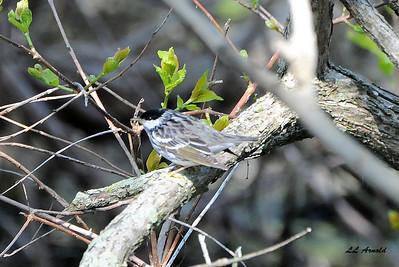 Blackpoll Warbler - Magee Marsh 5-10-09