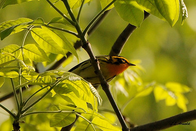 Blackburnian Warbler - Magee Marsh 5-10-09