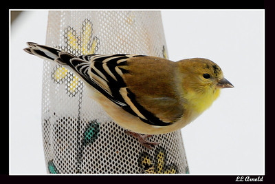 American Gold-Finch