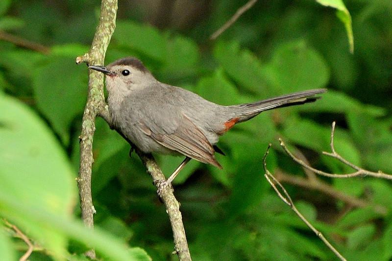 Young Gray Catbird