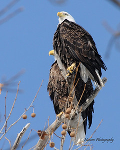 Male Eagle and Female