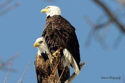 Male Eagle and Female