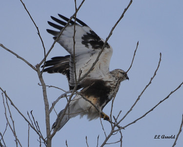 Rough-legged Hawk (Light Morph)