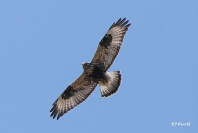 Rough-legged Hawk (light morph)