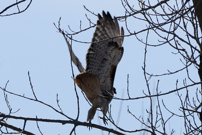 Moving out Red-tail Hawk