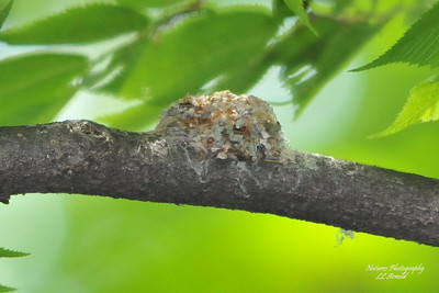 Hummingbird Nest