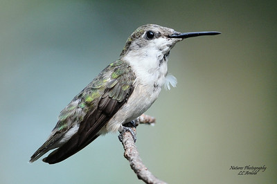 Juvenile Female Ruby-throated Hummingbird