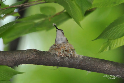 Female working on nest