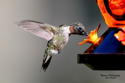 Backyard Male hummer