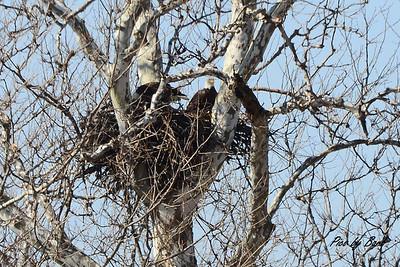 Cygnet Nest