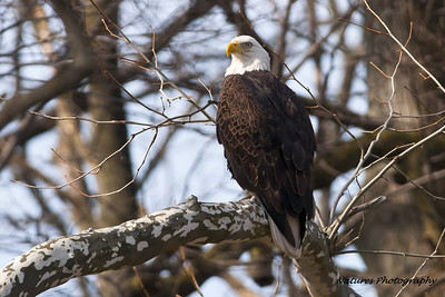 Findlay Eagle