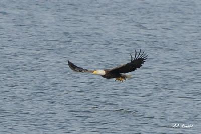 Eagle at Breslers