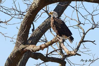 Cygnet Eagle