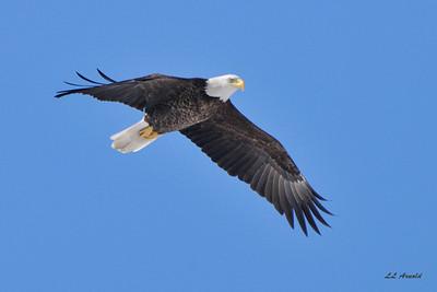 Rimer eagle - 3-5-10