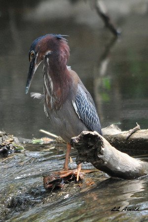 Green Heron (Greenie)