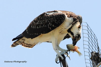 Osprey with lunch