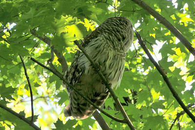 Barred Owl in Elida 5-29-09