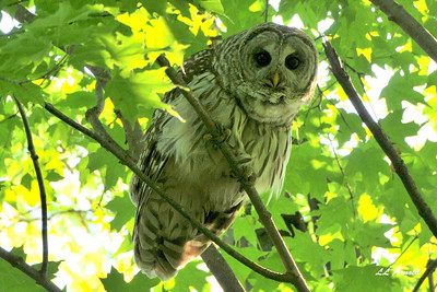 Barred Owl - Elida 5-29-09