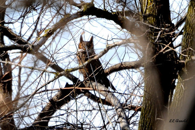Great Horned Owl - Elida