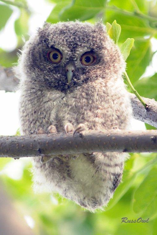 Baby Eastern Screech Owl