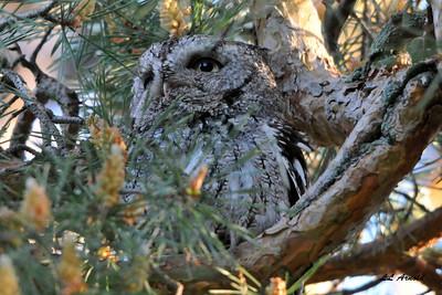 Parent Screech Owl