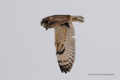 Short-eared Owl with lunch