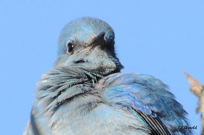 Rare in Ohio Mountain Bluebird