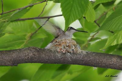 Female Ruby-throated Hummingbird 6-1-09