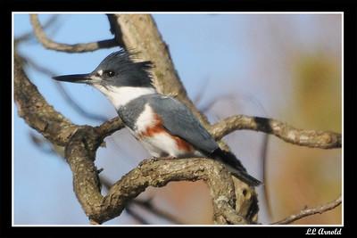 Kingfisher - Castalia