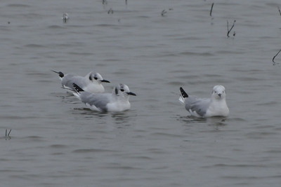 Rare in Ohio -Little Gulls- Magee Marsh