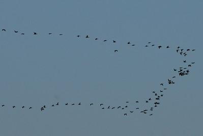 100 Dbl created Cormorants