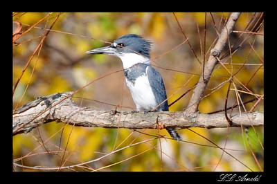Kingfisher- Dutch Hollow